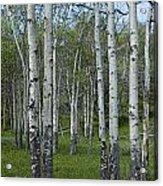 Birch Trees In A Grove No. 0148 Acrylic Print