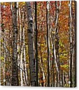 Birch Trees In Autumn Acrylic Print