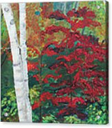 Birch Trees In Red Acrylic Print