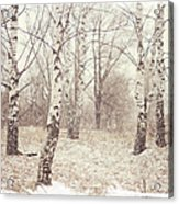 Birch Trees In The Snow. Winter Poems Acrylic Print