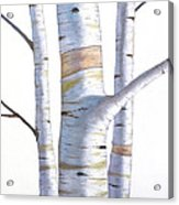 Birch Trees In Three Acrylic Print