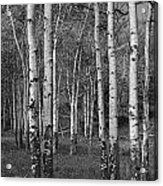 Birch Trees No.0148 Acrylic Print