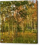 Birch Trees2 Acrylic Print