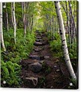 Birch Woods Hike Acrylic Print