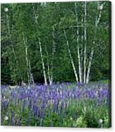 Birches In The Blue Lupine Acrylic Print