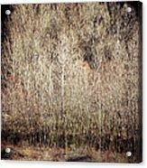 Birches In Winter Acrylic Print