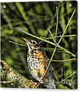Bird - Baby Robin Acrylic Print by Paul Ward