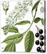 Bird Cherry Cerasus Padus Or Prunus Padus Acrylic Print