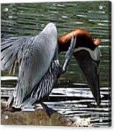 Bird Dance Acrylic Print