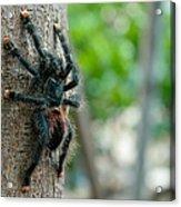 Bird-eater Tarantula / Tarantula Comedora De Aves Acrylic Print