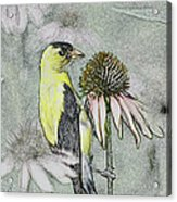 Bird Eating Seeds For One Digital Art Acrylic Print