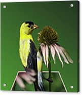 Bird Eating Seeds Acrylic Print