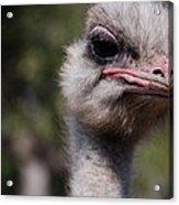Bird Face Acrylic Print
