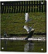 Bird Fight Acrylic Print