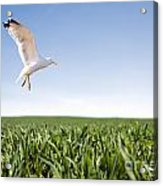 Bird Flying Over Green Grass Acrylic Print