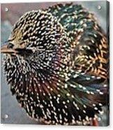 Bird In Seattle Acrylic Print