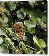 Bird In The Ivy Acrylic Print