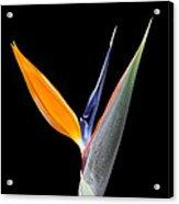 Bird Of Paradise #2 Acrylic Print