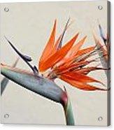 Bird Of Paradise Acrylic Print by Denice Breaux