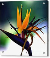 Bird Of Paradise Flower - Square Acrylic Print