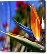 Bird Of Paradise Open For All To See Acrylic Print