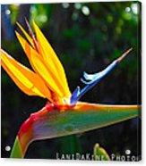Bird Of Paradise Plant Acrylic Print