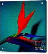 Bird Of Paradise With Blue Background Acrylic Print