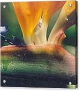 Bird Of Paradisephoto Taken Early  Acrylic Print