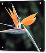 Bird Of Paridise Acrylic Print