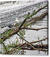 Bird On A Weir Acrylic Print