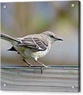 Bird On The Fence Acrylic Print