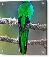 Bird Perching On A Branch, Savegre Acrylic Print
