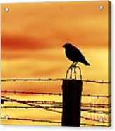 Bird Sitting On Prison Fence Acrylic Print