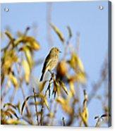 Bird Watcher Acrylic Print