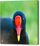 Bird Watching Acrylic Print