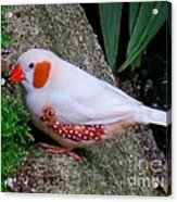 Male Zebra Finch Acrylic Print