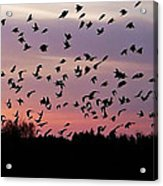 Birds At Sunrise Acrylic Print
