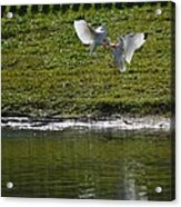 Birds In Fight Acrylic Print