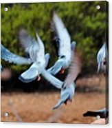 Birds In Flight 030515aa Acrylic Print