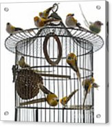 Birds Inside And Outside A Cage Acrylic Print