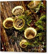 Birds Nest Fungi Acrylic Print