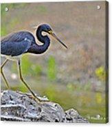 Birds Of Cutler Bay Wetlands 47 Acrylic Print