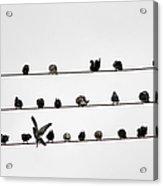 Birds Pattern Acrylic Print
