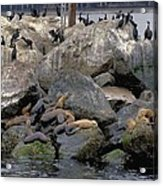 Birds Seals And Sea Lions Acrylic Print