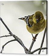 Birdy Birdy Goldfinch Acrylic Print
