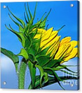 Birth Of A Sunflower By Kaye Menner Acrylic Print
