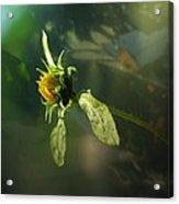 Birth Of A Sunflower  Acrylic Print