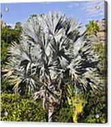 Bismarck Palm  Bismarckia Nobilis Acrylic Print