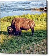 Bison 4 Acrylic Print