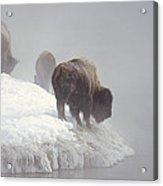 Bison Along Snowy Riverbank Yellowstone Acrylic Print